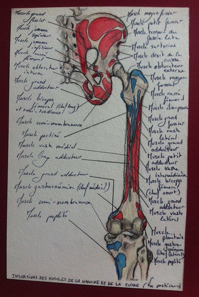 Insertions-des-muscles-de-la-hanche-et-de-la-cuisse-posterieure.JPG