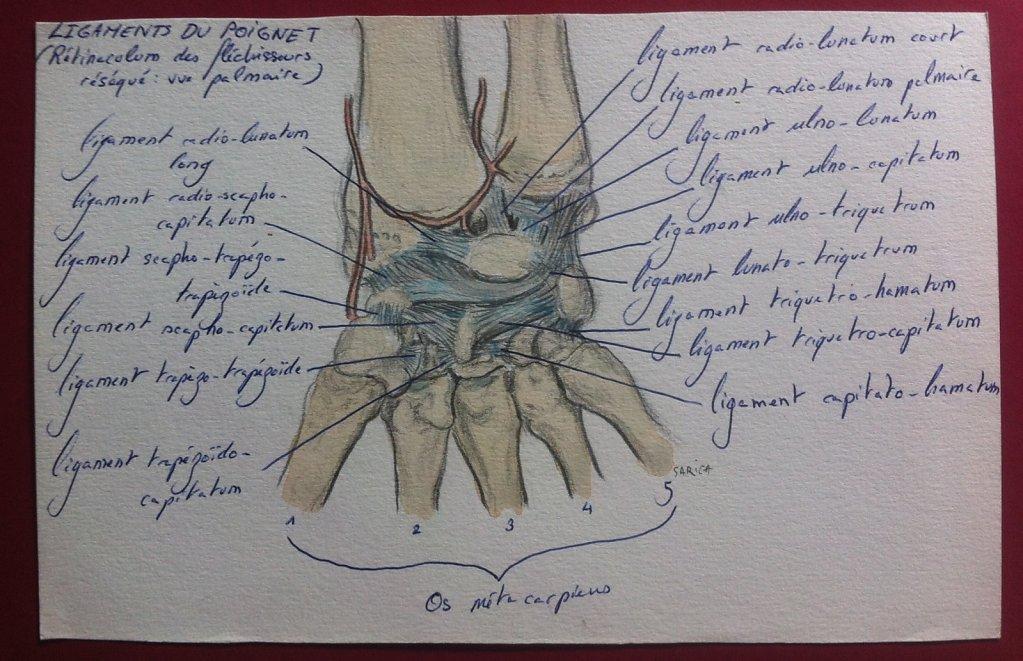 Ligaments-du-poignet.JPG