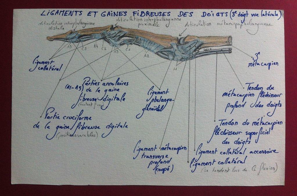 Ligaments-et-gaines-fibreuses-des-doigts-laterale.JPG