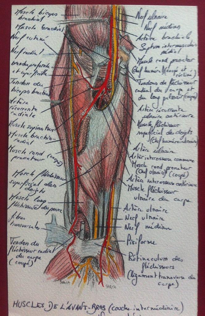 Muscles-de-lavant-bras-couche-intermediaire-vua-anterieure.JPG