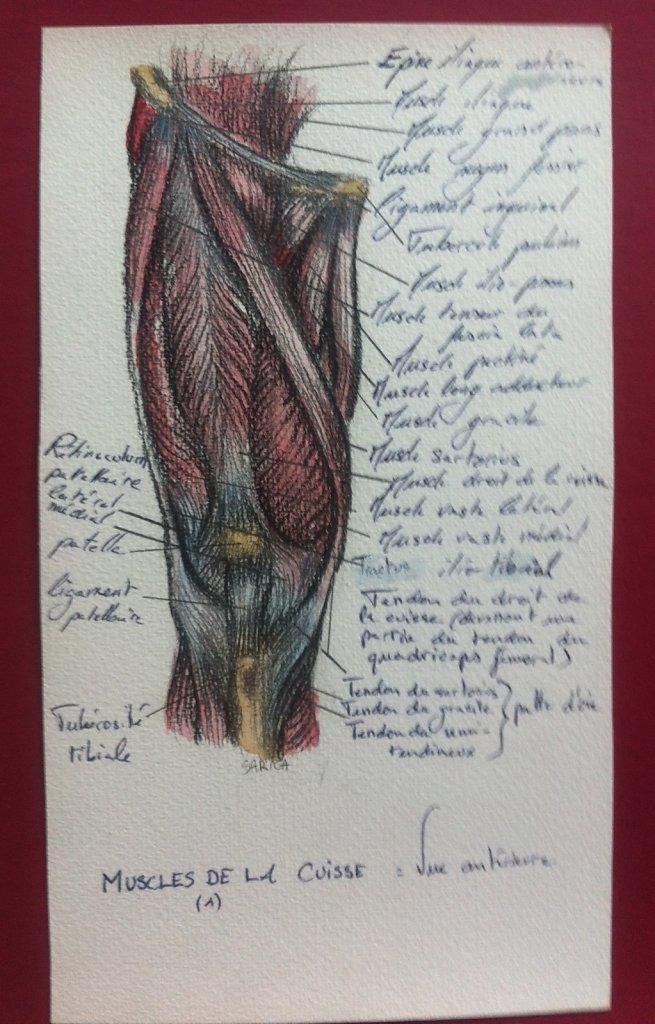 Muscles-de-la-cuisse-vue-anterieure-1.JPG