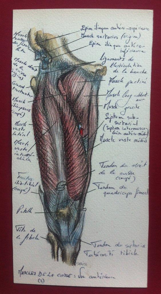Muscles-de-la-cuisse-vue-anterieure-2.JPG