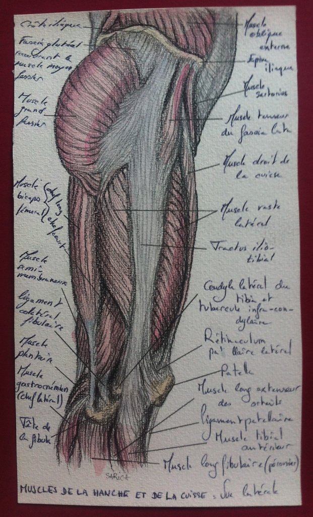 Muscles-de-la-hanche-et-de-la-cuisse-vue-laterale.JPG