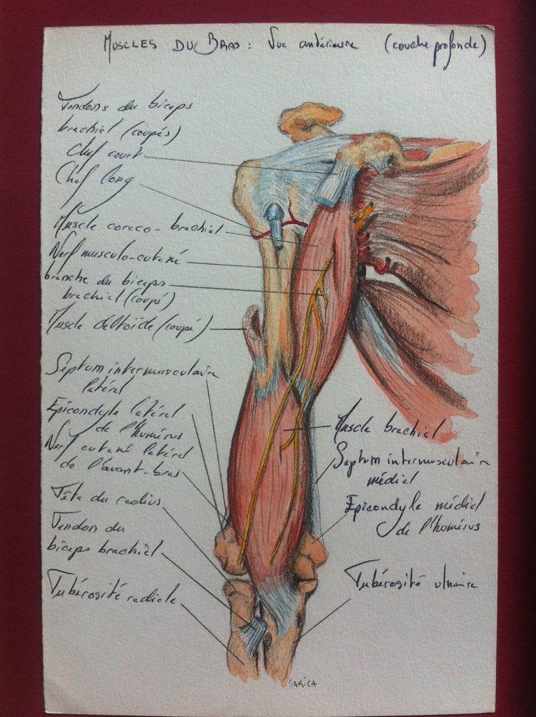 Muscles-du-bras-couche-profonde-vue-anterieure.JPG