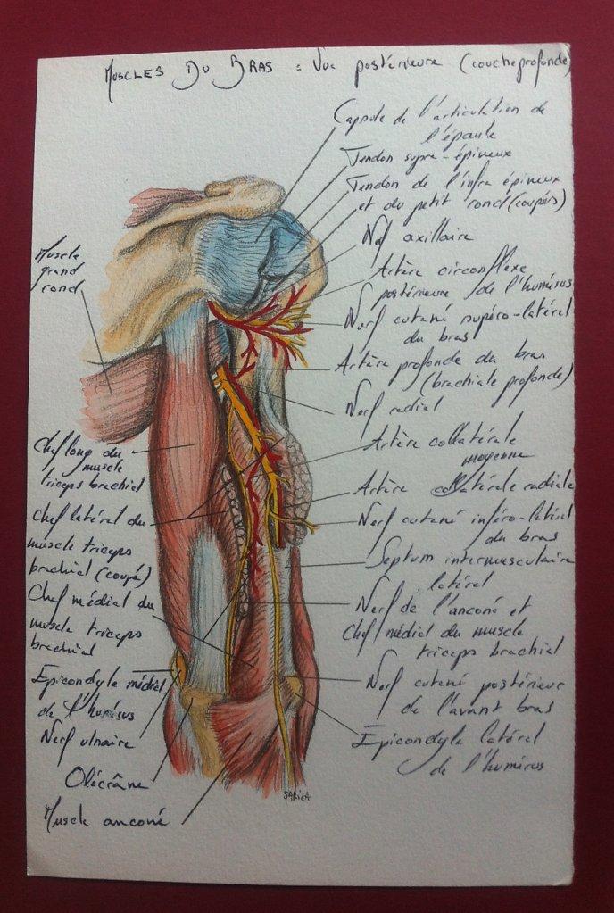 Muscles-du-bras-couche-profonde-vue-posterieure.JPG
