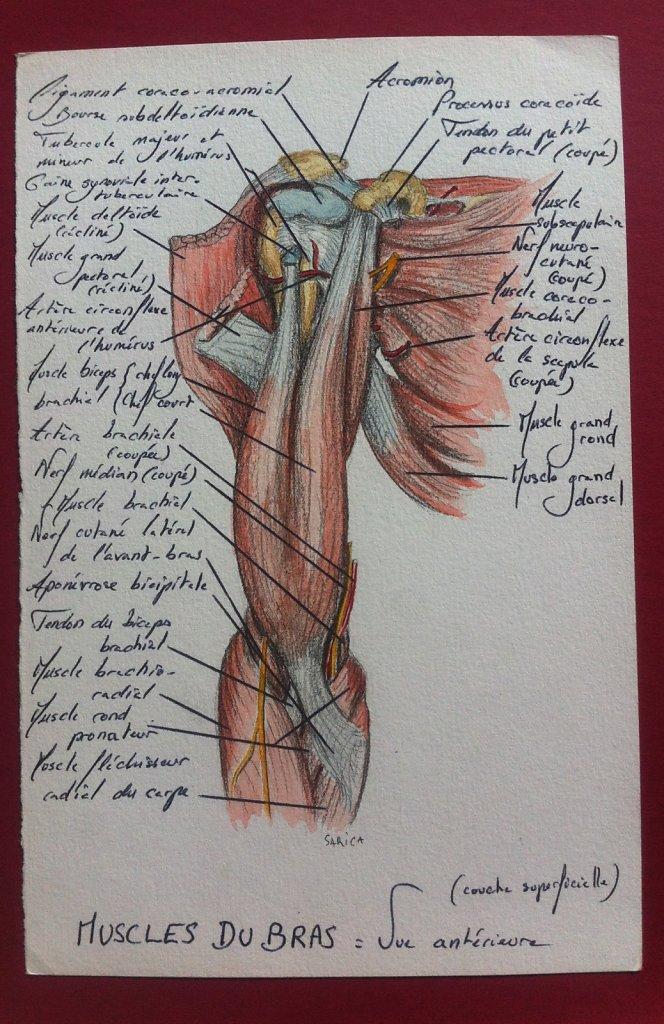 Muscles-du-bras-couche-superficielle-vue-anterieure.JPG