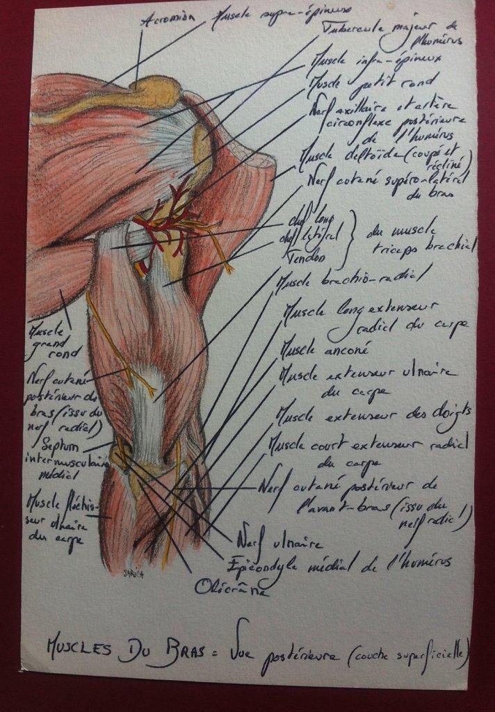 Muscles-du-bras-couche-superficielle-vue-posterieure.JPG