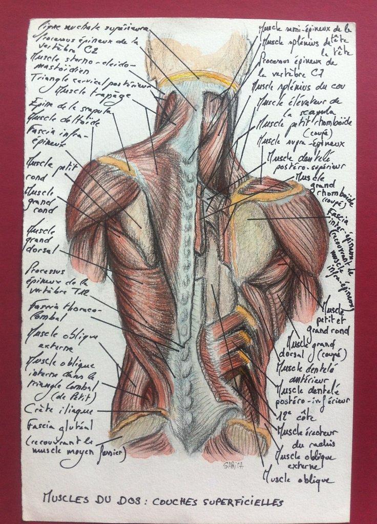 Muscles-du-dos-couche-superficielle.JPG
