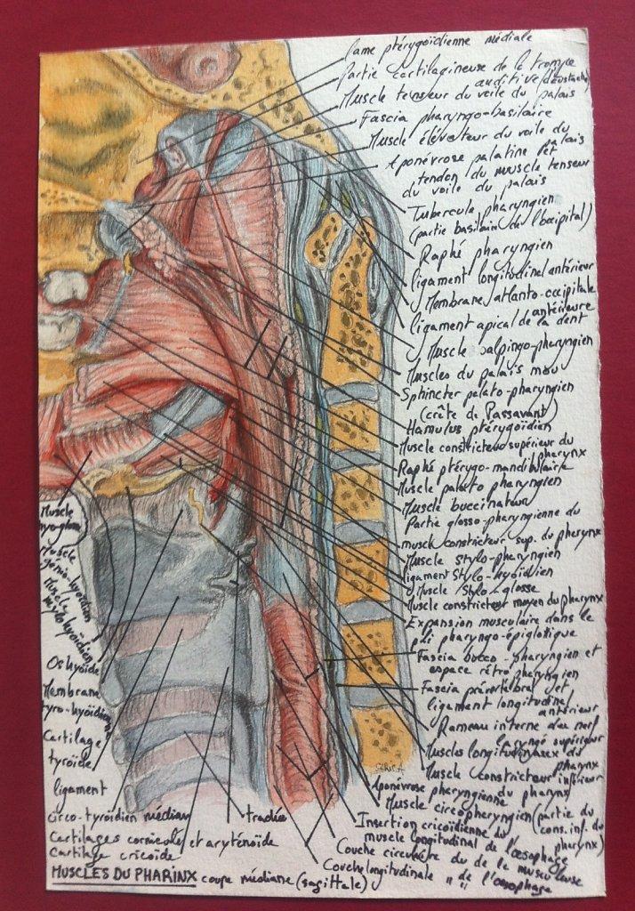 Muscles-du-pharinx.JPG
