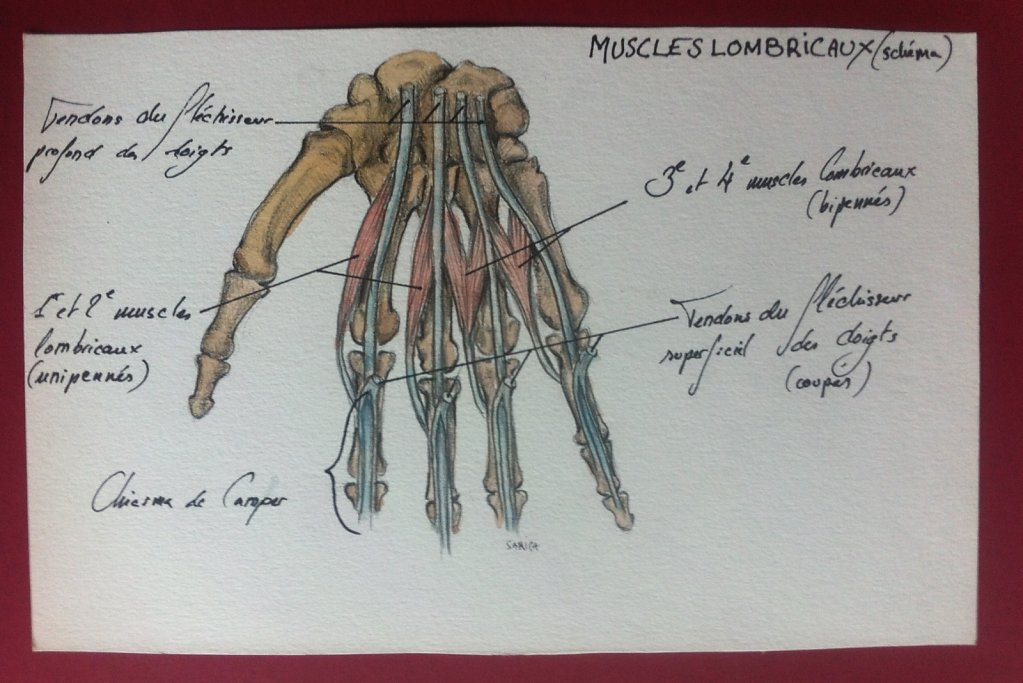 Muscles-lombricaux-main.JPG
