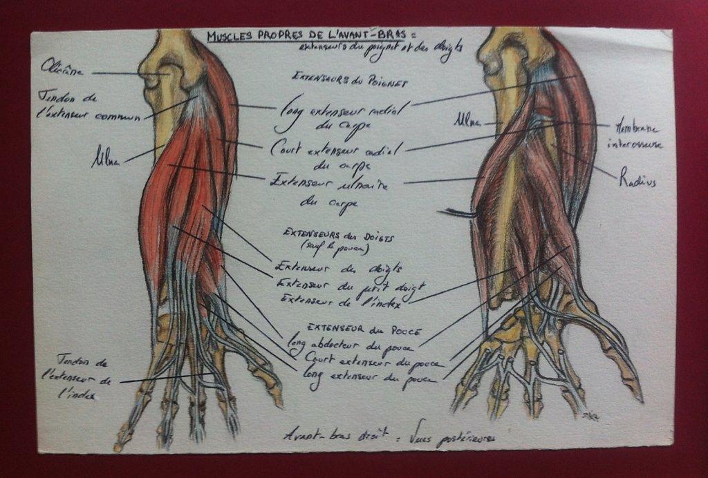 Muscles-propres-de-lavant-bras.JPG