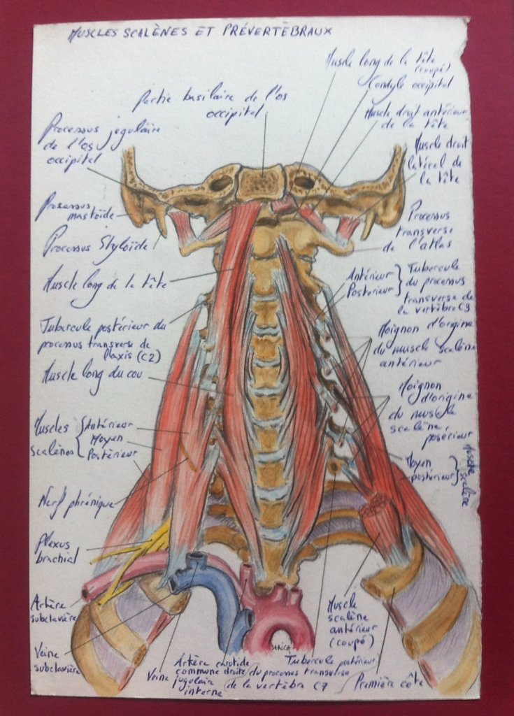 Muscles-scalenes-et-prevertebreaux.JPG