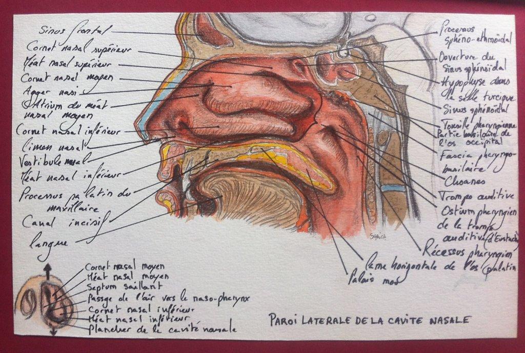 Paroi-laterale-de-la-cavite-nasale.JPG