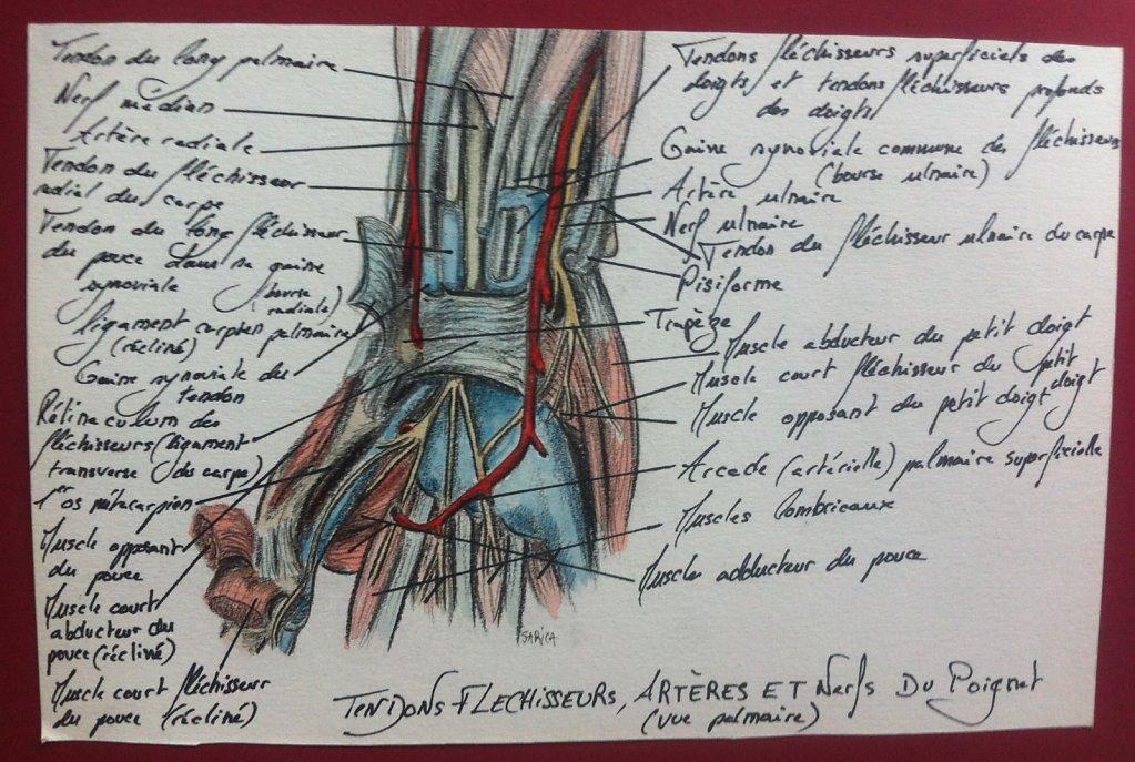 Tendons-flechisseurs-arteres-et-nerfs-du-poignet.JPG